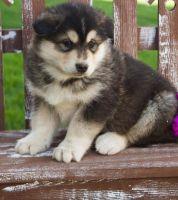 Alaskan Malamute Puppies for sale in Michigan Ave, Inkster, MI 48141, USA. price: NA