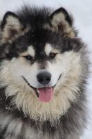 Alaskan Malamute Puppies for sale in Dixon, MO 65459, USA. price: NA