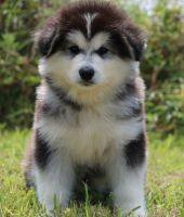 Alaskan Malamute Puppies for sale in Lansing, MI 48912, USA. price: NA