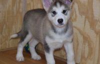Alaskan Malamute Puppies for sale in Jackson, MS 39206, USA. price: NA