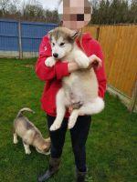 Alaskan Malamute Puppies for sale in Sacramento, CA 95820, USA. price: NA