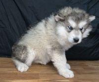 Alaskan Malamute Puppies for sale in Brazil, IN 47834, USA. price: NA