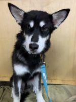 Alaskan Malamute Puppies for sale in North Las Vegas, NV, USA. price: NA