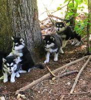 Alaskan Malamute Puppies for sale in Sparta, TN 38583, USA. price: NA