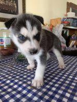 Alaskan Malamute Puppies for sale in Perris, CA, USA. price: NA