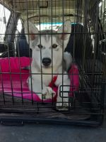 Alaskan Malamute Puppies for sale in San Diego, CA, USA. price: NA