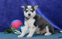 Alaskan Malamute Puppies for sale in US-1, Jacksonville, FL, USA. price: NA
