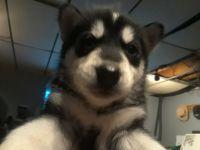 Alaskan Malamute Puppies for sale in Comins, MI 48619, USA. price: NA
