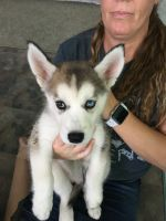 Alaskan Malamute Puppies for sale in Evarts, KY 40828, USA. price: NA
