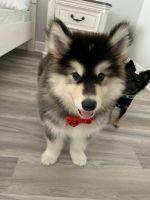 Alaskan Malamute Puppies for sale in Eastampton Township, NJ 08060, USA. price: NA