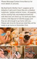 Alaskan Malamute Puppies for sale in 35815 2nd Ave E, Roy, WA 98580, USA. price: NA