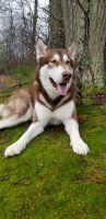 Alaskan Malamute Puppies for sale in Newark, DE, USA. price: NA