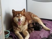 Alaskan Malamute Puppies for sale in Lexington, KY 40502, USA. price: NA