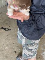 Alaskan Malamute Puppies for sale in Soledad, CA 93960, USA. price: NA