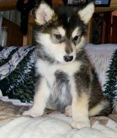 Alaskan Malamute Puppies for sale in 6820 Lyndon B Johnson Fwy, Dallas, TX 75240, USA. price: NA