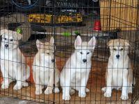 Alaskan Malamute Puppies for sale in McEwen, TN 37101, USA. price: NA