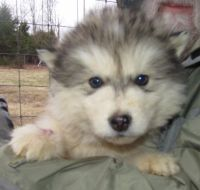 Alaskan Malamute Puppies for sale in Madison, IN, USA. price: NA