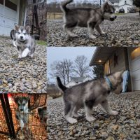 Alaskan Malamute Puppies for sale in Dover, OH 44622, USA. price: NA