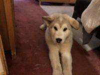 Alaskan Malamute Puppies for sale in Snohomish, WA, USA. price: NA