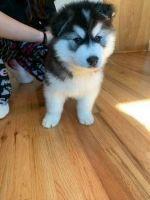 Alaskan Malamute Puppies for sale in Sacramento, CA, USA. price: NA