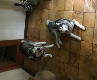 Alaskan Malamute Puppies for sale in Tallahassee, FL, USA. price: NA