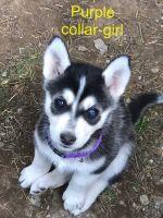 Alaskan Malamute Puppies for sale in Vancouver, WA 98665, USA. price: NA