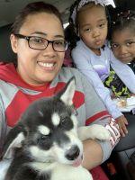 Alaskan Malamute Puppies for sale in Minneapolis, MN, USA. price: NA