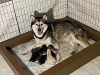 Alaskan Malamute Puppies for sale in Maine, ME 04736, USA. price: NA