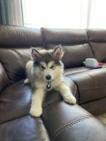 Alaskan Malamute Puppies for sale in Davenport, FL, USA. price: NA