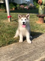 Alaskan Malamute Puppies for sale in Greensboro, NC, USA. price: NA