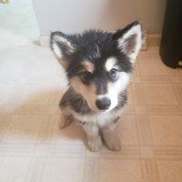 Alaskan Malamute Puppies for sale in Buffalo, NY, USA. price: NA