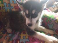 Alaskan Malamute Puppies for sale in Garrett, IN, USA. price: NA