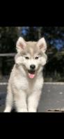 Alaskan Malamute Puppies for sale in Lawrenceville, GA, USA. price: NA