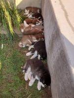 Alaskan Malamute Puppies for sale in Springville, UT, USA. price: NA