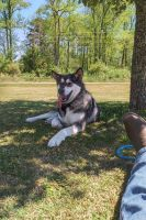 Alaskan Malamute Puppies for sale in Raeford, NC 28376, USA. price: NA