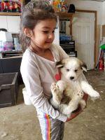 Alaskan Malamute Puppies for sale in Denver, CO 80249, USA. price: NA