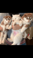 Alaskan Malamute Puppies for sale in Cypress, TX, USA. price: NA