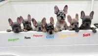 Alaskan Malamute Puppies for sale in Cape Coral, FL, USA. price: NA