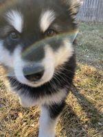 Alaskan Malamute Puppies for sale in Kenosha, WI, USA. price: NA
