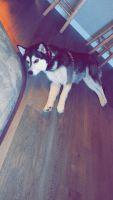Alaskan Malamute Puppies for sale in Lincoln, NE, USA. price: NA