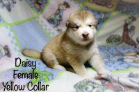Alaskan Malamute Puppies for sale in Rialto, CA, USA. price: NA