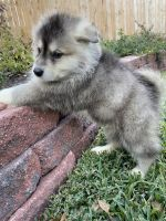 Alaskan Malamute Puppies for sale in Cypress, TX 77433, USA. price: NA