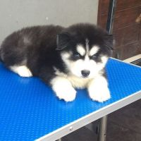Alaskan Malamute Puppies for sale in 2083 127th Ave NW, Minneapolis, MN 55448, USA. price: NA