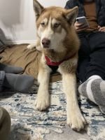 Alaskan Malamute Puppies for sale in 17804 NE Glisan St, Portland, OR 97230, USA. price: NA