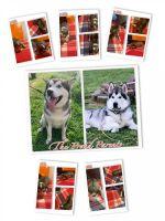 Alaskan Malamute Puppies for sale in Easton, MD 21601, USA. price: NA