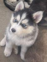 Alaskan Malamute Puppies for sale in Frederick, CO 80530, USA. price: NA