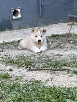 Alaskan Malamute Puppies for sale in Richmond, CA, USA. price: NA