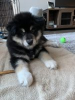 Alaskan Malamute Puppies for sale in Woodland Hills, Los Angeles, CA, USA. price: NA