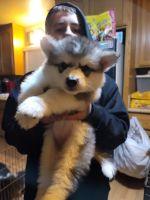 Alaskan Malamute Puppies for sale in Modesto, CA, USA. price: NA