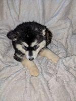 Alaskan Malamute Puppies for sale in 403 Sarah Dr, Goose Creek, SC 29445, USA. price: NA